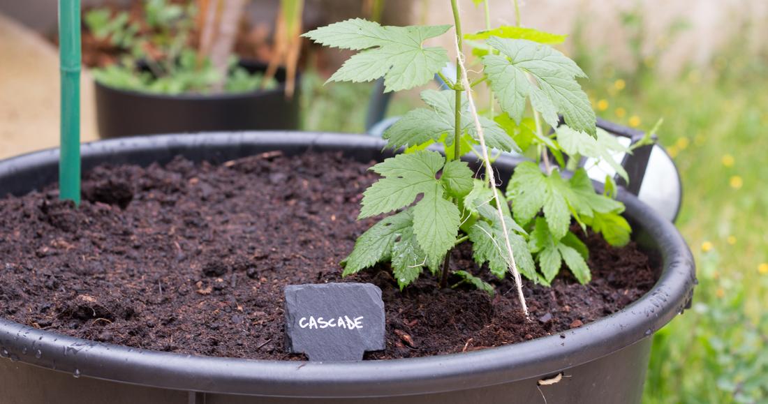 comment planter rhizome houblon